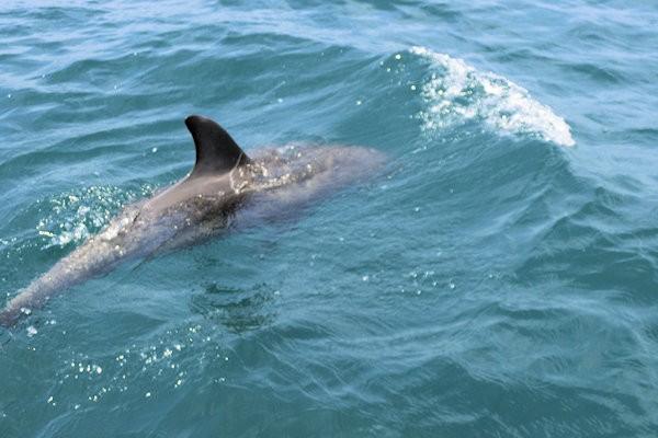 notojima-dolphin-o