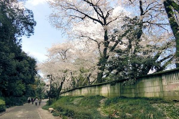 hakutyouro-sakura-b
