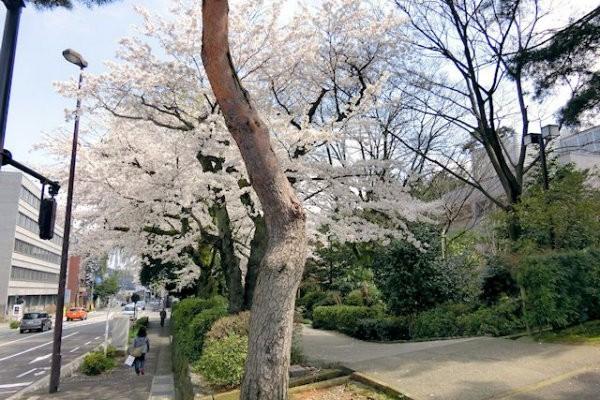 hakutyouro-sakura-g